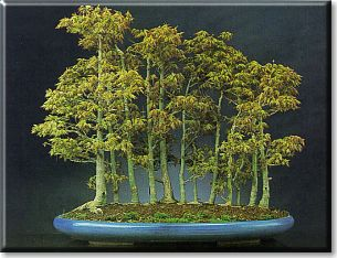 Vasi e sottovasi per bonsai dal catalogo crespi for Bonsai vasi